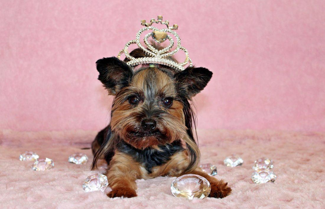 yorkshire terrier femelle apprivoiser l'ego